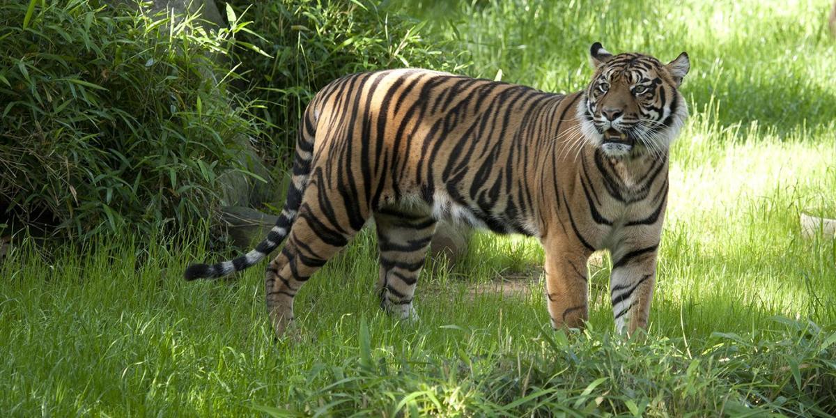 Sumatran Tiger, courtesy of National Zoo