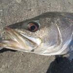 シーバスの好シーズンとよく釣れる釣り場【まとめ】