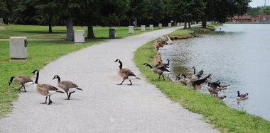 Geese-East-Lake-Park-0610-12.jpg