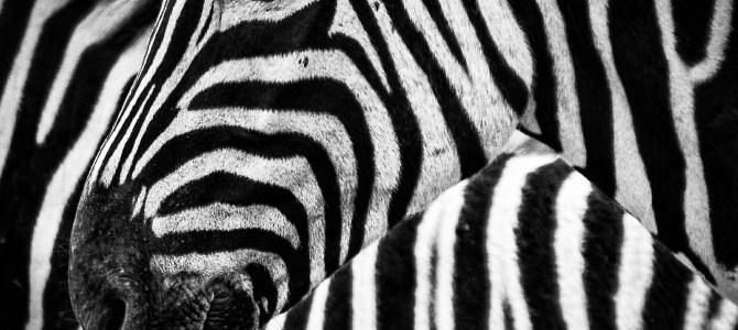 Zebror smälter in i bakgrunden