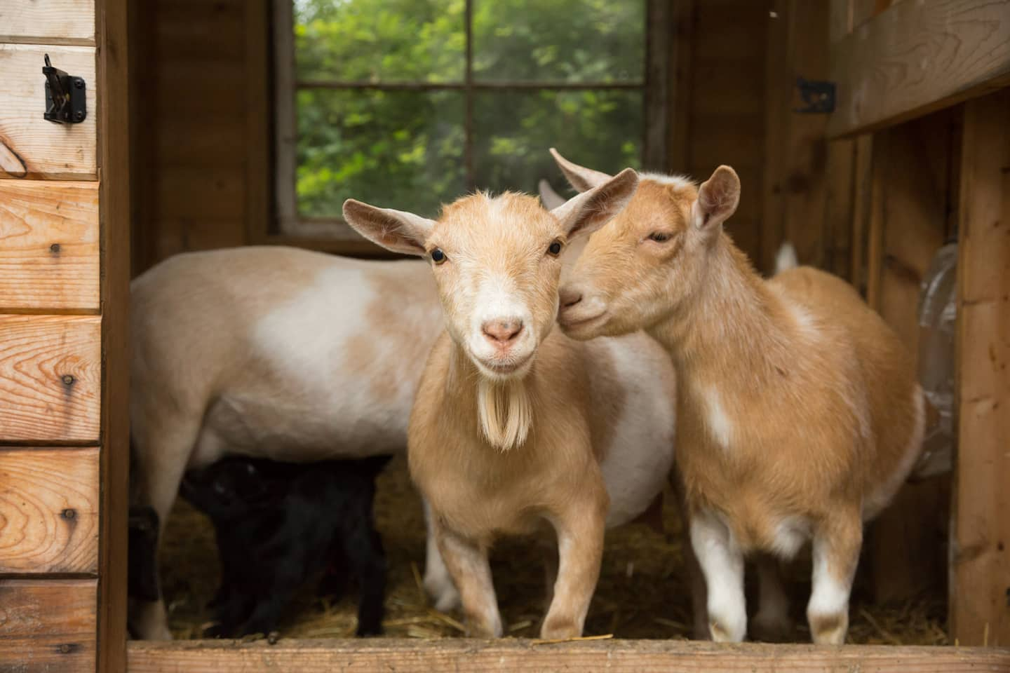 A Diy Goat Barn For Less Than 1 000 From Reclaimed Materials