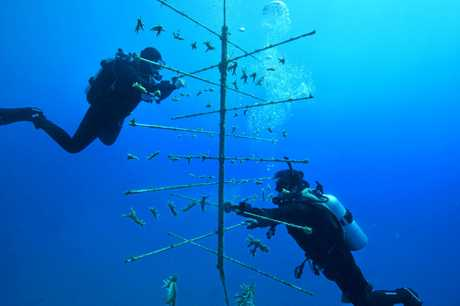 Divers maintain one coral tree near Fitzroy Island.