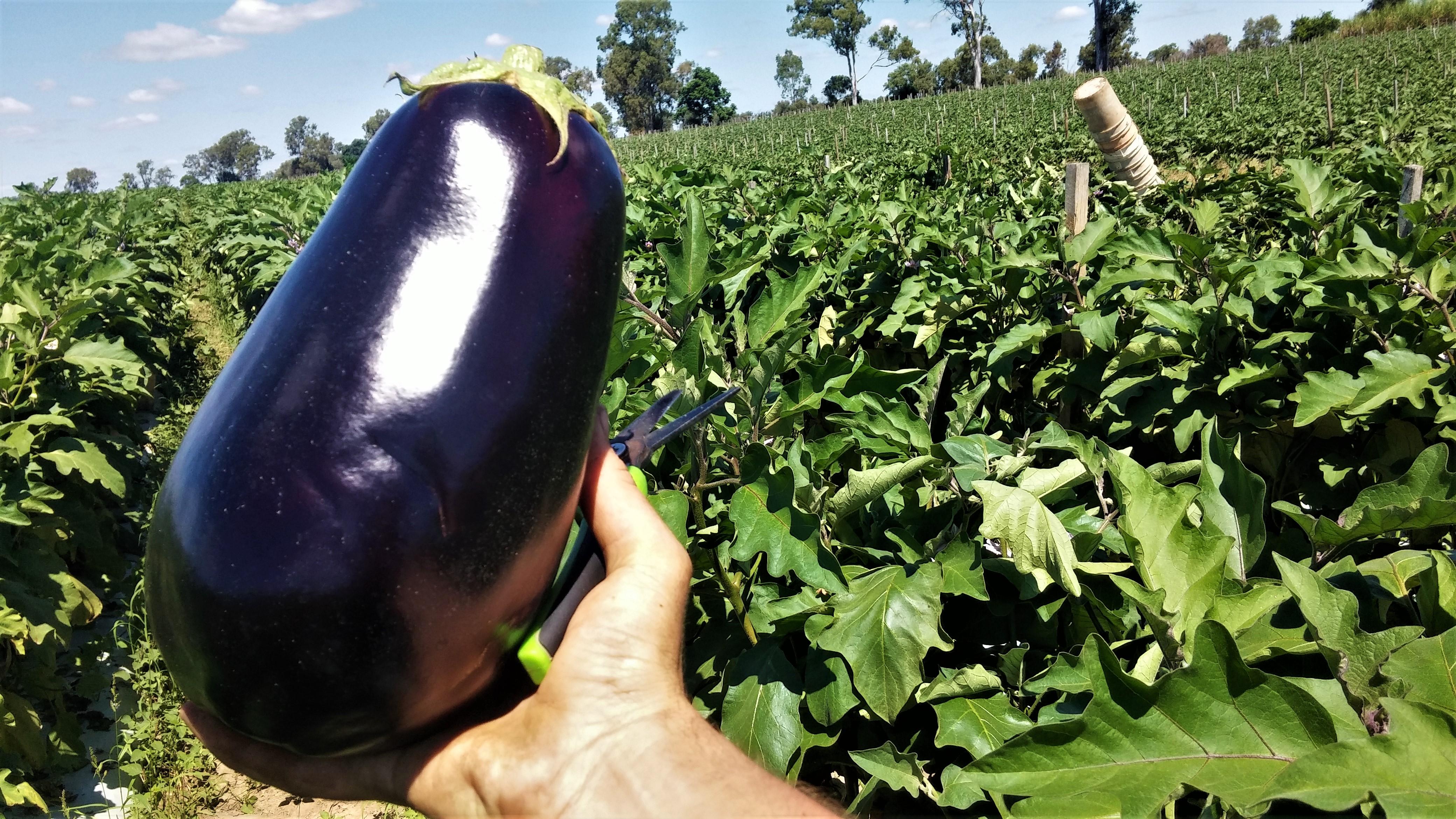 stor aubergine