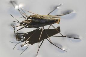 Imagen:Insecto tejedor   Markus Gayda en Wikipedia (cc)