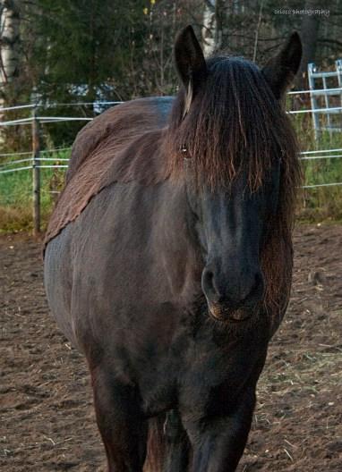 Häst med rosafläckad mule L