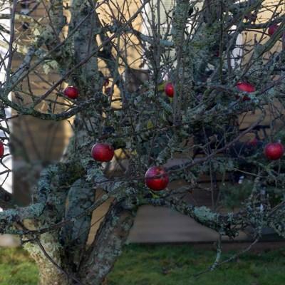 Blev sugen på att palla äpplen i Malmslätt - Margareta