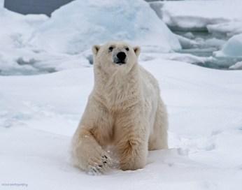 Isbjörnshanne