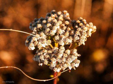 På en frostig morgonpromenad fann jag detta fina HÖSTBLOMSTER i solen