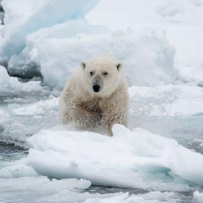 Att bada i norra ishavet kanske inte är ISKALLT för en isbjörn, men väl för oss