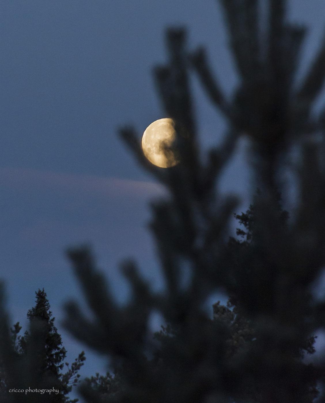 5 december - Cricco blyg morgonmåne