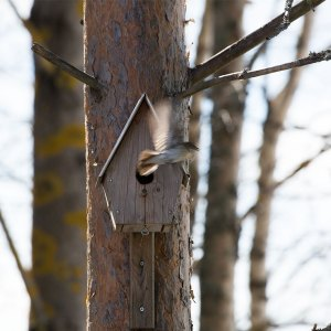 Nu bygger flugsnappare bo - av Eva