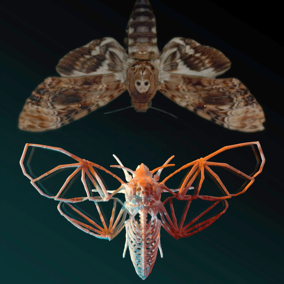 Subtext The Story Within Visual Storytelling further Death Moth ZwVzq1UWcSK9aGCvLigLTURxxc6fZXZlQxNdGV7ULSI also Imagenes Mariposas Esfinge Calavera further 3d Printed Deaths Head Haw also Deaths Head Hawkmoth Caterpillar From South Africa. on silence of lambs moth