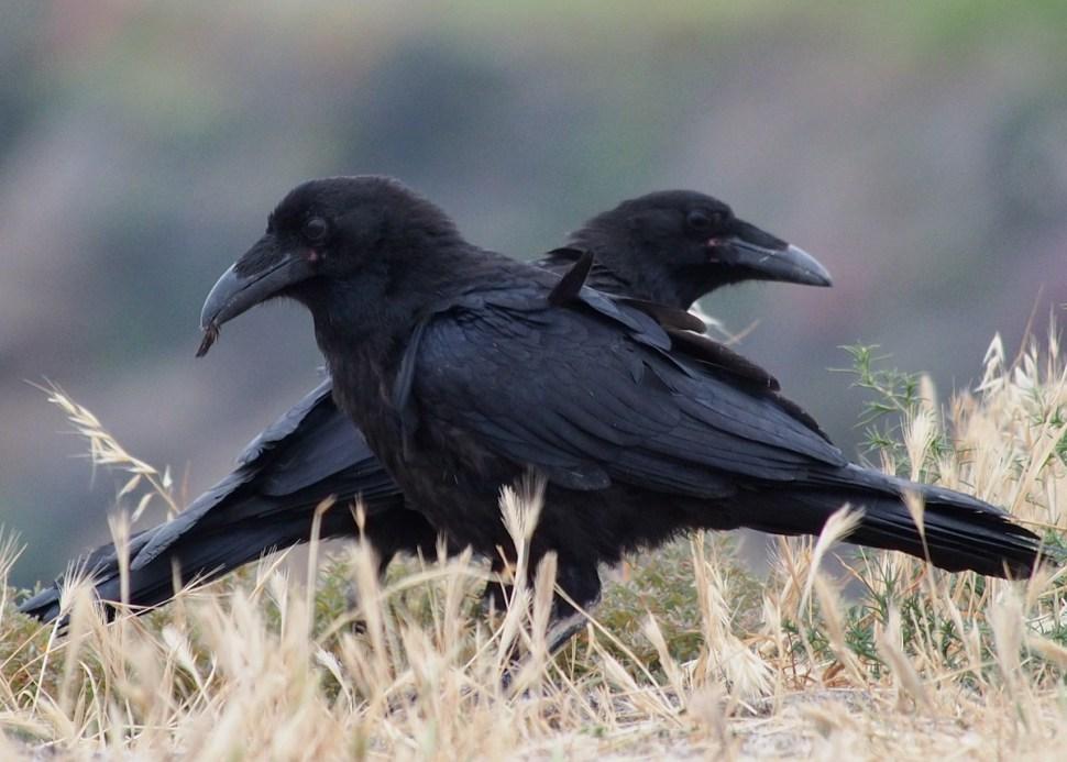 Raven Symmetry