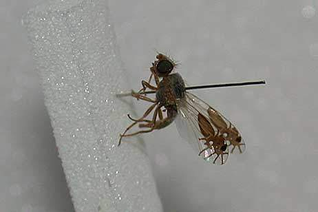 Fruitfly evolved pictures of ants on its wings