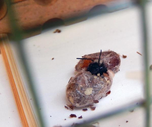 hatching bee