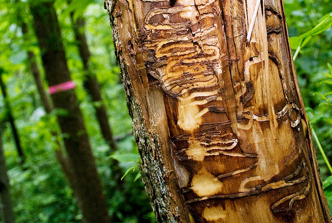 A 2011 photograph from Wisconsin shows what damage the larvae of the emerald ash borer are doing to ash trees in the United States. Credit John Ehlke/The West Bend Daily News