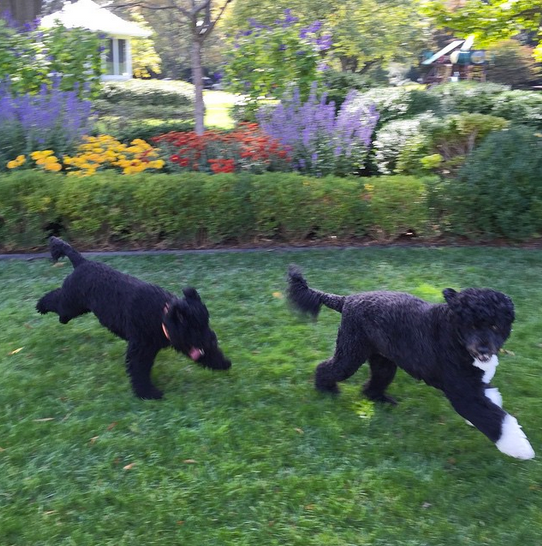 """""""Bo and Sunny in the Rose Garden."""" By Pete Souza via Instagram"""