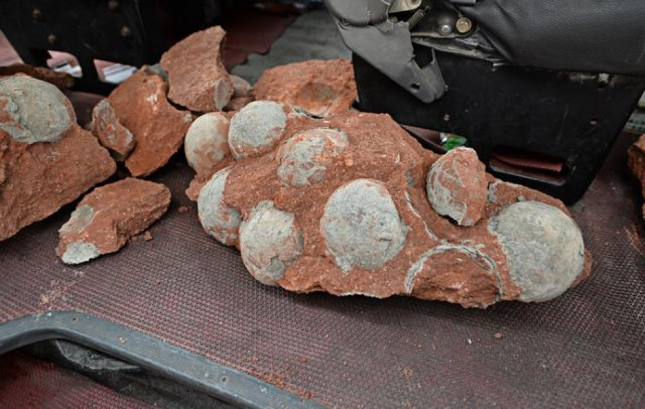 Nineteen of the fossilised dinosaur eggs were found intact. Photo: SCMP Pictures