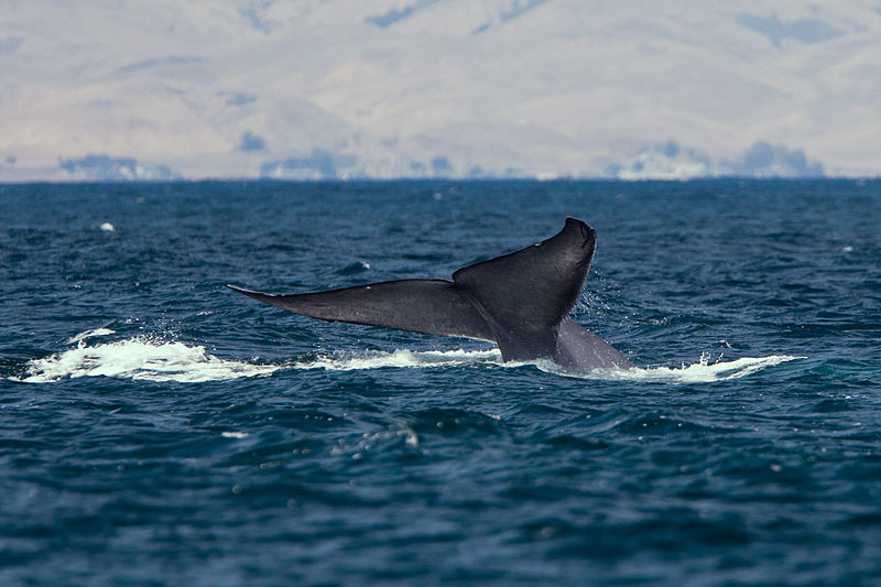 """Blue Whale lifting its tail fluke. """"Mike"""" Michael L. Baird."""