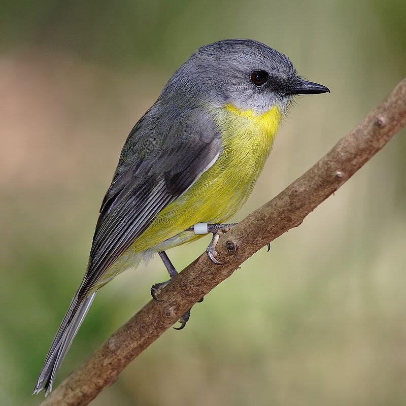 800px-Eastern_yellow_robin