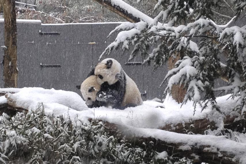 File photo from a winter storm last January: pandas at National Zoo enjoy a dusting of snow. Today, there's a lot more snow there. Photo: NATIONAL ZOO