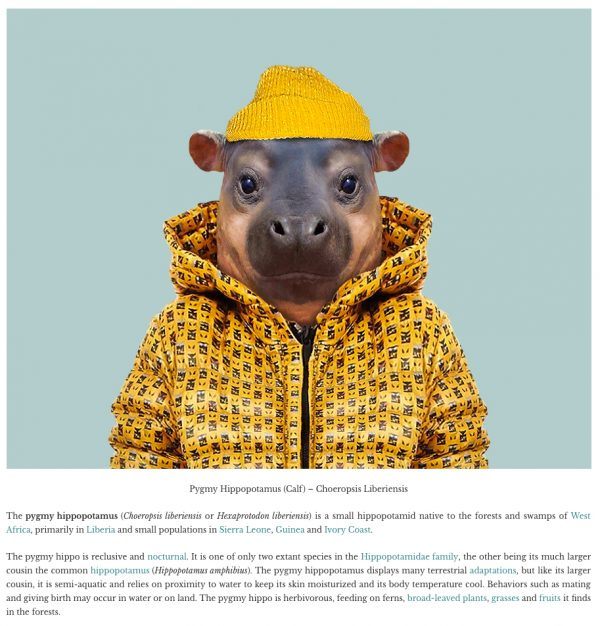 zooportraits-hippo