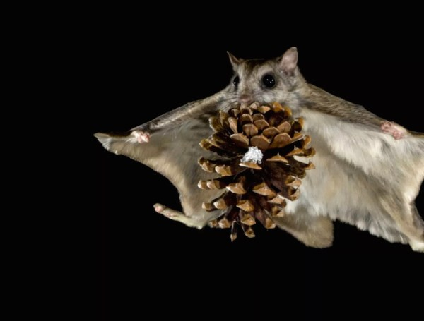 Turns out flying squirrels can fly while holding giant
