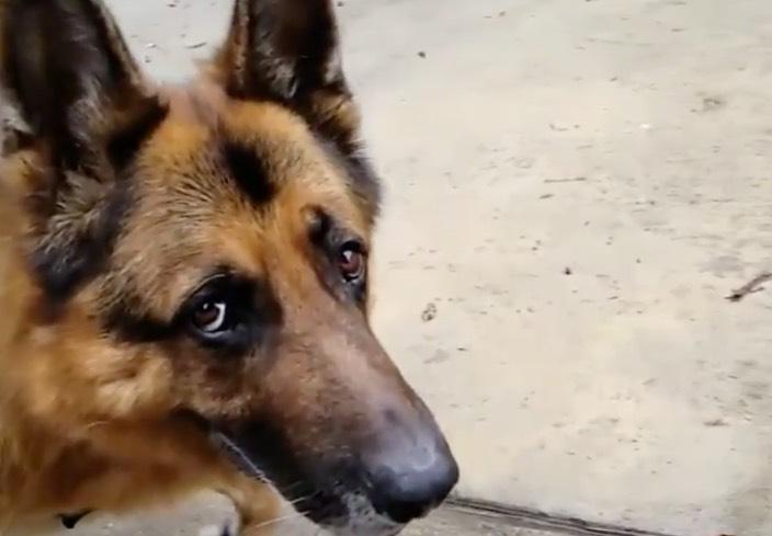 Loving German Shepherd eyes. Wait 'til the end.