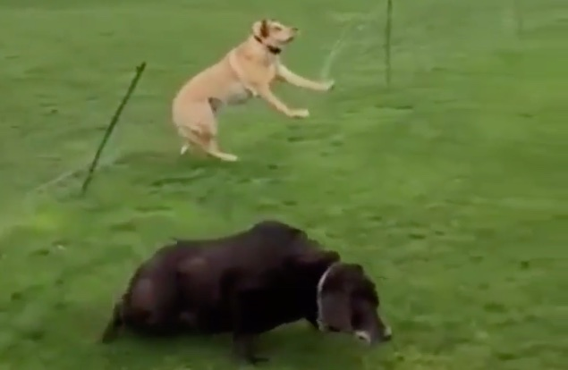 Adorkable dogs bungle a graceful jump