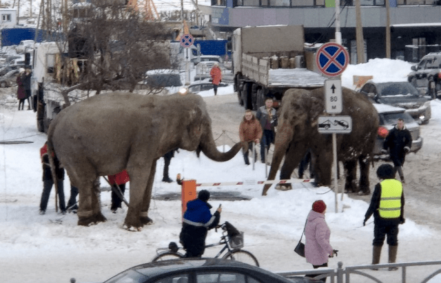 Russia: 2 elephants escape from circus