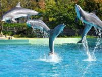 Dolphins jump during an aquatic show
