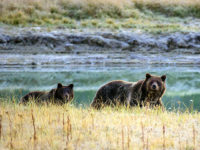 A Grizzly bear mother and her cub walk near Pelican Creek October 8, 2012 in the Yellowstone National Park in Wyoming.Yellowstone National Park is America's first national park. It was established in 1872. Yellowstone extends through Wyoming, Montana, and Idaho. The park's name is derived from the Yellowstone River, which …