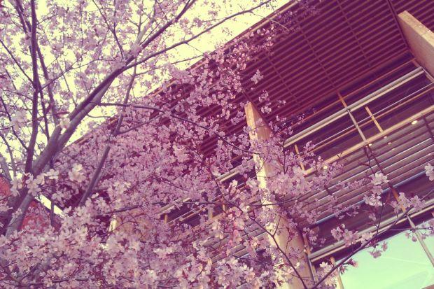 körsbärsblommor framför mälardalens högskola i västerås