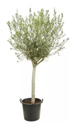 olivier avec pot o20 30 cm 50 l