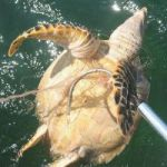 Fishing line recycling can save turtles