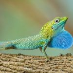 Cayman anole becomes cover pin-up for 2018