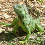 Green iguana cull needs $7m cash injection