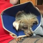 Volunteers shocked by abuse of tiny dog