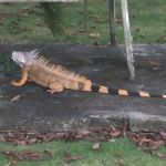 Iguana cull on track as 300k taken to dump