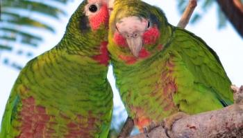 DoE to address pet parrot problem - Cayman Islands Headline