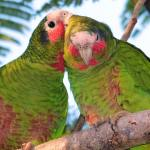 Development poses growing threat to parrots