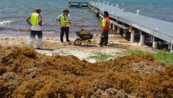 Scientists research sargassum from Cayman to Florida