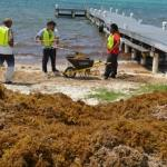 NiCE extended as sargassum keeps rolling in