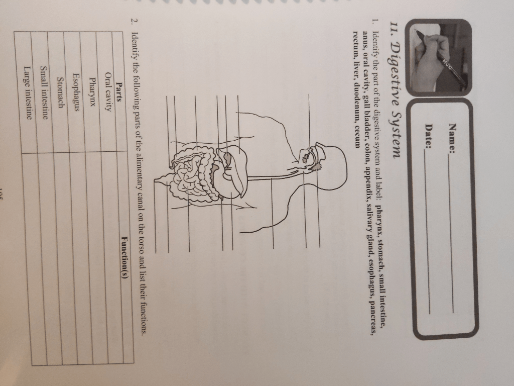 Solved Name Date 11 Digestive System L Identify The P