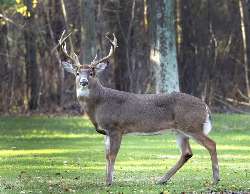 Deer Pictures