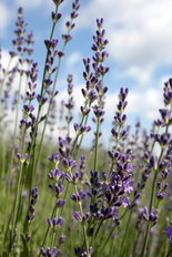 lavender-as-sleep-aid.jpg