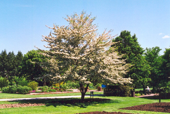 Hawthorn King Winter Tree Planted Planter