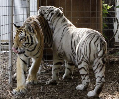 TIGERS-EXOTIC-ANIMALS-LAW.JPG