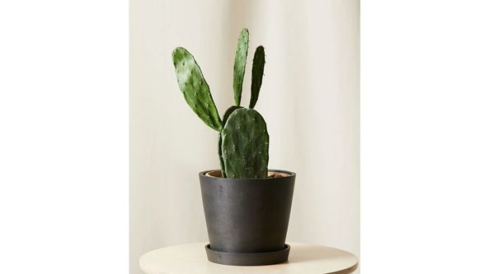 Bloomscape's Prickly Pear Cactus