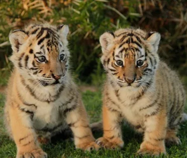 Feed Baby Tigers Elephants And Pandas On These Voluntourism